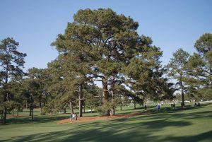eisenhower pine